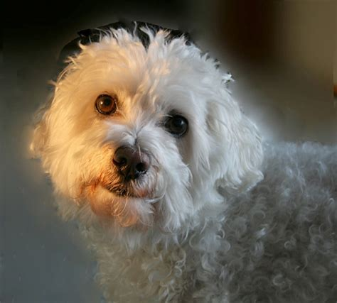 Bichon Shedding by How Do Convince A Maltese Bichon Go To Quot Toilet Quot All