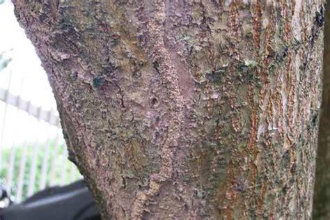 Termite Urban Trees