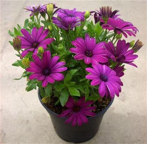 co fiore dimorfoteca fiori e piante ornamentali