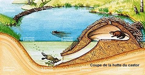 hutte castor berviller en moselle le castor colonise les affluents de