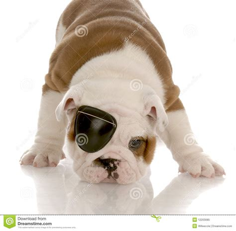 eye patch for dogs wearing eye patch royalty free stock photo image