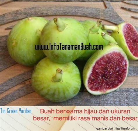 Bibit Tin Hijau bibit tin green info tanaman buah