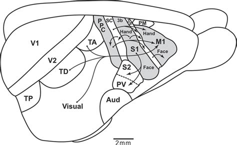 rat motor cortex frontiers the organization and evolution of dorsal
