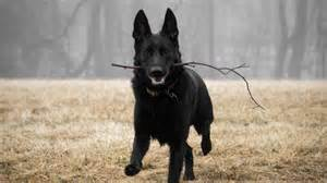 belgian shepherd long haired 7 things you didn t know about the black german shepherd