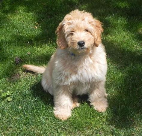 mini goldendoodle puppies for sale bc die besten 25 goldendoodle z 252 chter ideen auf