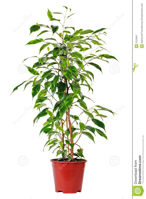 common house pot plants ficus in pot royalty free stock photography image 2123647