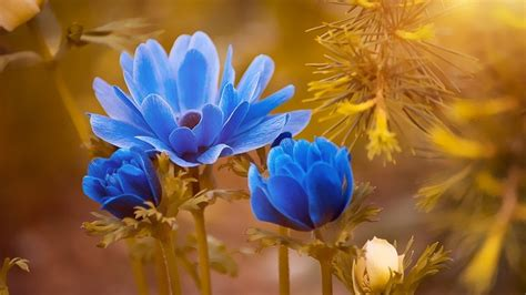 anemone flower meaning anemone flower meaning symbolism and colors