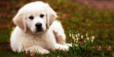 cagnolini da appartamento cani da appartamento piccola taglia le razze perfette