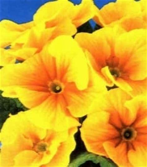primula fiore primula linguaggio dei fiori primula linguaggio dei