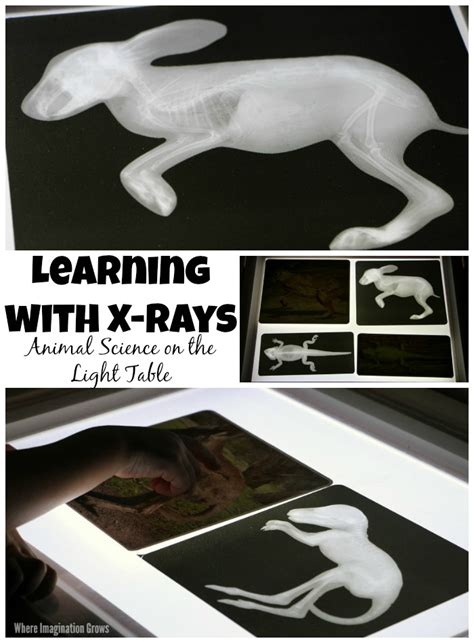 Learning Table With Light animal science on the light table with x rays learning
