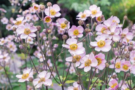 anemone hupehensis japanese anemone  seeds japanese