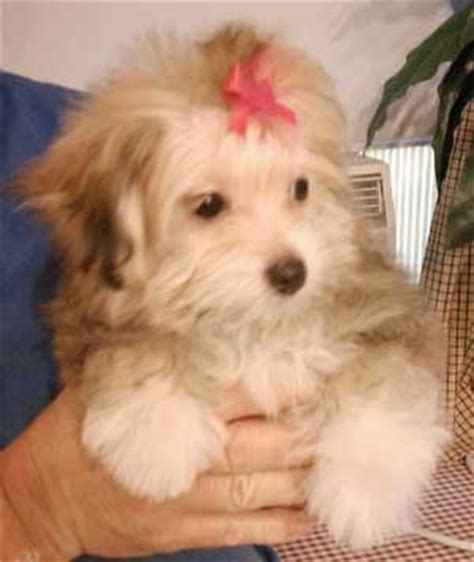 japanese chin pomeranian mix mixed breed for sale puppies for sale