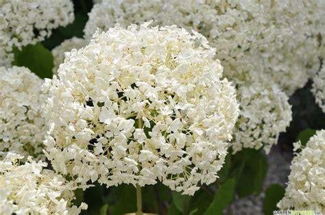 Hortensien Pflanzen Und Pflegen 4462 by Hortensie Hydrangea Pflege Pflanzen D 252 Ngen Schnitt
