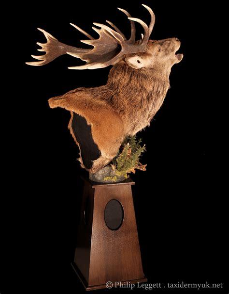 red deer stag roaring floor pedestal mount taxidermy uk