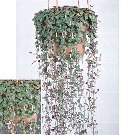 rosary bead plant rosary vine ceropegia linearis woodii