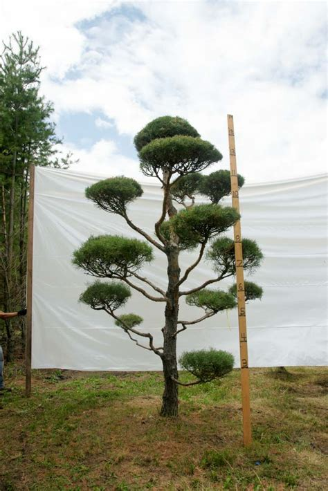scotch pine topiary 187 scotch pine topiary tree 78 plants beautiful nursery