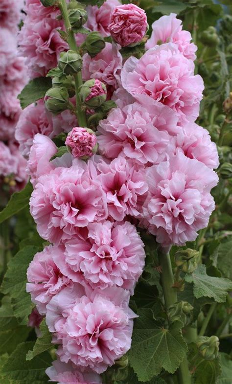 Pink Garden Flowers 17 Best Images About Trees Plants Zone 3 On Sun Shrub Roses And Hanging Succulents