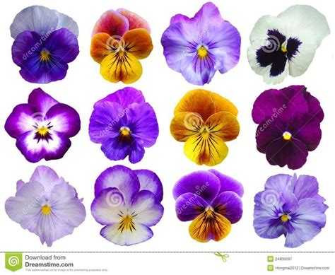 pansy colors 48 best pansies images on pansies beautiful