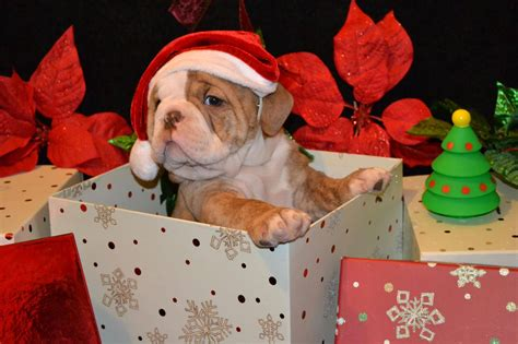 dogs are the most beautiful christmas gift ever women