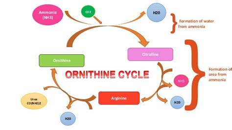 Does Detoxing Ammonia Means It Removes It From The Aqauarium by Functions Of The Liver Imjustanotherstudent