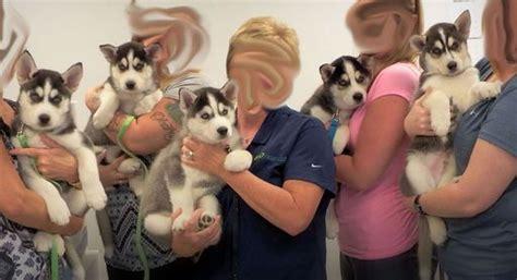 puppies for sale decatur il 25 best ideas about siberian husky for sale on huskies for sale boxes