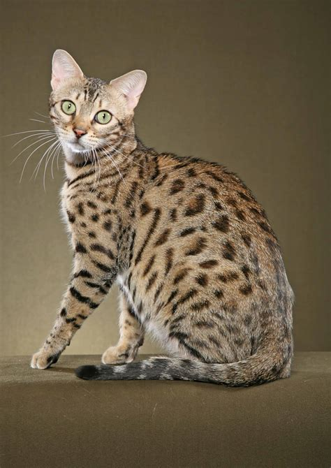 bengal house cat list of cat breeds with pictures and names pets world