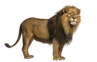 lions colors amazing physical and behavioral adaptations of lions