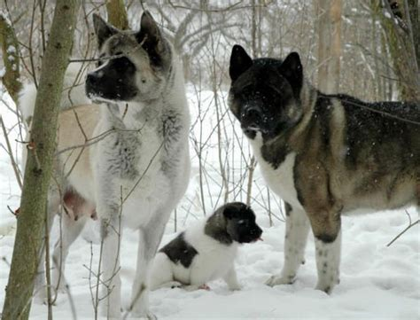 blizzard of agressive akita family in the snow animals i