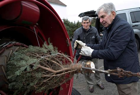 christmas tree farms are a growing business in connecticut