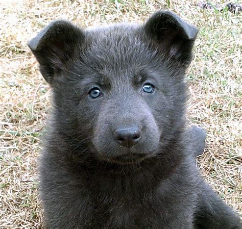 german shepherd eye color my blue german shepherd puppy floofs