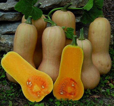 Biji Benih Labu Butternut Waltham Pumpkin cara budidaya labu madu butternut squash bibitbunga