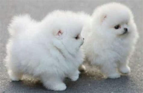 big fluffy breeds big fluffy breeds breed finders large dogs litle pups