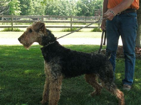 airedale puppies for sale ohio akc puppies for sale in ohio page 3 akc marketplace