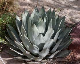 raederle agave the good the bad the ugly