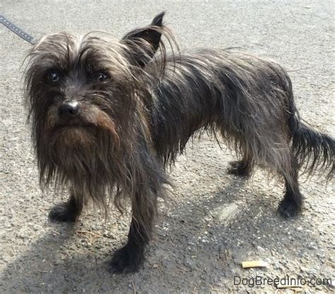cairn yorkie mix carkie breed information and pictures