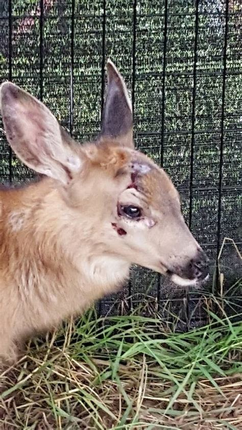 rescues fawn fawn rescue on roadside is exactly how it should be done photos
