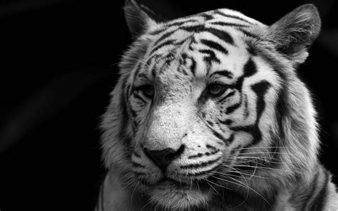 tiger backgrounds white tiger wallpapers images photos pictures backgrounds