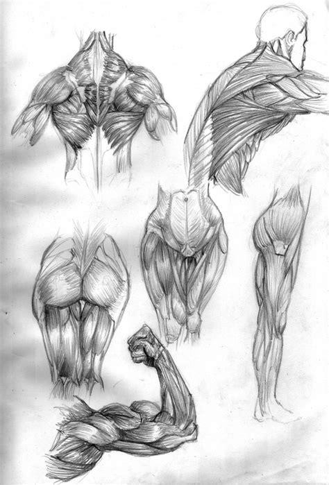 Croquis sur l'anatomie musculaire - Site professionnel