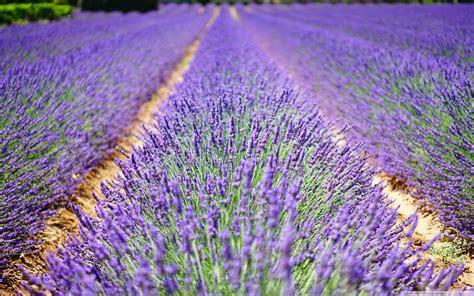beautiful lavender flowers  hd desktop wallpaper