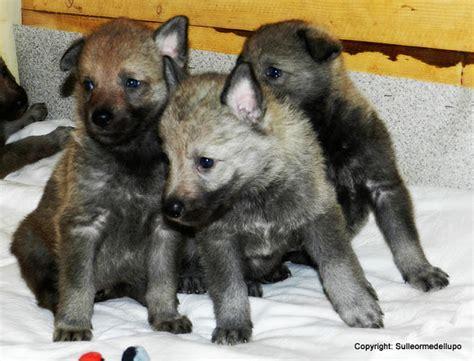 alimentazione corso cucciolo sulle orme lupo corso gestione cucciolo di