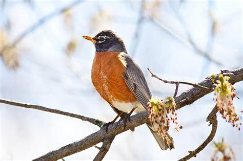 american robin wisconsin state bird flickr photo