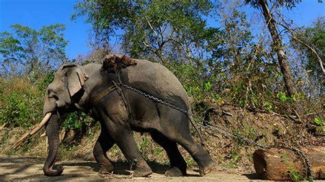 imagenes impactantes de niños maltratados impactante video cruel maltrato de elefantes que sirven