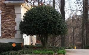 nellie r nellie r stephens 1 gallon shrub tree evergreen trees