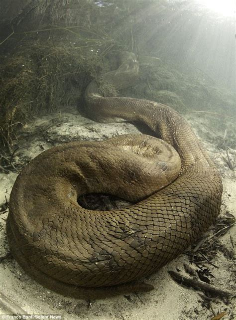 film ular anakonda ditemukan ular anaconda raksasa di hutan amazon brazil