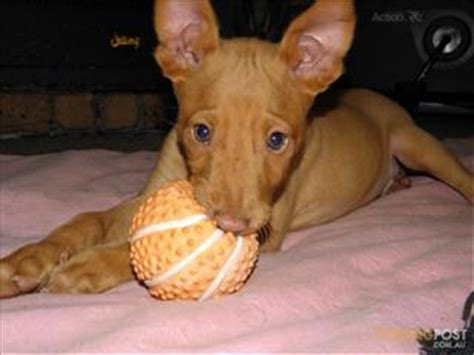 pharaoh hound puppies bad request
