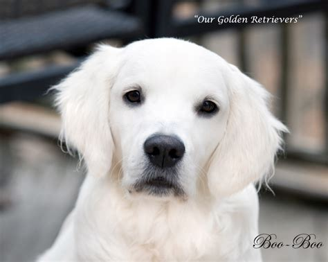 adoptable golden retrievers near me pups for adoption near me pets world