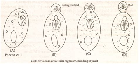why is sexual reproduction better than asexual reproduction cbse class 12th biology notes reproduction in organisms