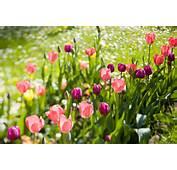 Pin Tulpen On Pinterest