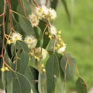 Delphinium Flower Australian Seed Eucalyptus Melliodora
