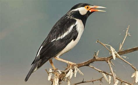Harga Pakan Burung Jalak Suren tips perawatan jalak suren agar cepat gacor cara merawat
